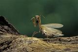 Mantis Religiosa (Praying Mantis) - in Defensive Posture  Threat Display