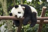 Giant Panda Cub  Chengdu  China