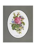 Rose Cumberland  Pansies and Cineraria