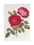 The Rose Perpetual Standard of Marengo