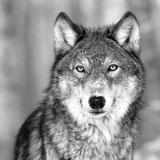 Loups Reproduction d'art