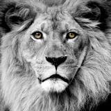Lion Reproduction d'art