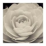 Camellia II