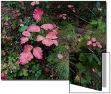 Red Leaves Poison Oak (Fall Botanical)