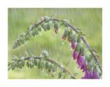 Foxglove in Rain