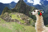 Llama at Historic Lost City of Machu Picchu - Peru