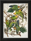 "Carolina Parakeet  from ""Birds of America "" 1829"
