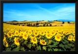 Sunflowers Field  Umbria