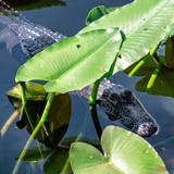 Crocodile - Everglades National Park - Unesco World Heritage Site - Florida - USA