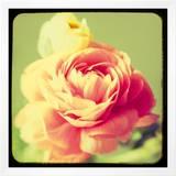 Rose Mist