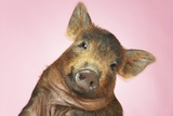 Brown Pig Against Pink Background with Head Cocked  Close-Up
