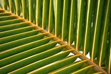 Leaf of a Palm Tree at a Beach on the Caribbean Island of Grenada