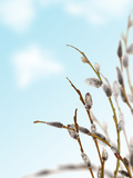 Spring Pussy-Willow Branches on Blue Sky Background