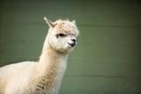 Fluffy Young Alpaca Papier Photo par Igor Mojzes