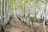 Horizontal Photo of a Birch Trees Alley in Russia