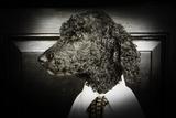 Dapper Dog - Poodle Dressed up in Menswear
