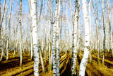 Tree of the Birch by Autumn in Wood