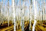 Tree of the Birch by Autumn in Wood Papier Photo par Kzww