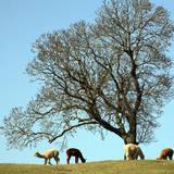 Alpacas Papier Photo par David Harding