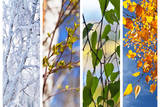 Birch Tree and Foliage at Different times of Year ollage