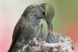 Anna's Hummingbird Feeds Her Chcks in the Nest