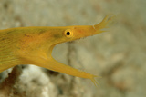 Yellow Ribbon Eel (Rhinomuraena Quaesita) Rhinomuraena Quaesita Papier Photo par Reinhard Dirscherl