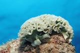 Lettuce Sea Slug  Tridachia Crispata  Netherlands Antilles  Bonaire  Caribbean Sea