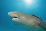 Lemon Shark  Negaprion Brevirostris  Bahamas  Grand Bahama Island  Atlantic Ocean