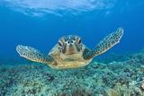 Green Turtle (Chelonia Mydas), Maui, Hawaii, USA Papier Photo par Reinhard Dirscherl