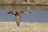 Male Gadwall Duck in Flight