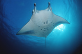 Manta Ray (Manta Birostris)  Maldives Islands  Indian Ocean