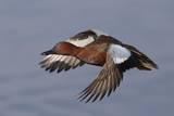 Cinnamon Teal Drake in Flight