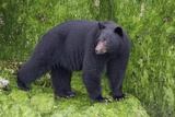 Black Bear at the Ocean to Eat Clams