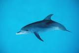 Atlantic Spotted Dolphin  Stenella Frontalis  Usa  Fl  Florida  Atlantic Ocean