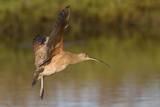 Long-Billed Curlew Landing
