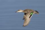 Greeb-Winged Teal Hen in Flight