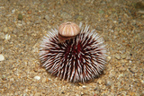 Violet Sea Urchin Living Animal and its Test or Shell on its Top (Sphaerechinus Granularis)