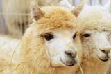 Two Fluffy Alpacas Papier Photo par Denis Tabler