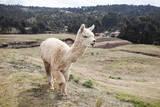 Alpaca in Perù Mentre Attraversano Papier Photo par Claudio Quacquarelli