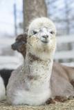 Very Cute Alpaca Papier Photo par Sin_ok