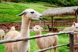 Alpaca Papier Photo par Tansiro