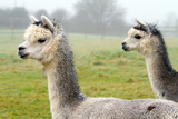 Two Gray Alpacas They Resemble a Small Llama in Appearance