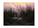 Swans in the Reeds  C1794-C1831