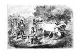 Oxen Hauling Corn  19th Century