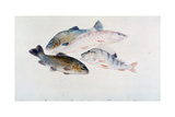 Study of Fish: Two Tench  a Trout and a Perch  C1822-1824