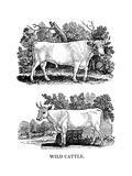 British Wild or Park Cattle  1790
