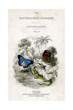 The Naturalist's Library, Entomology, Vol V, Butterflies, C1833-1865 Giclée par William Home Lizars