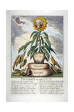 The Flower of the City  1809