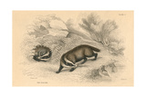 Common or Eurasian Badger (Meles Mele)  1828