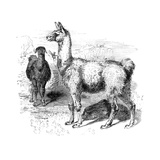 Llamas  C1880